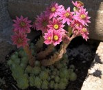Hauswurz in rosa Blüte
