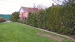 Unsere neuen Brabant Thujen 80-100cm